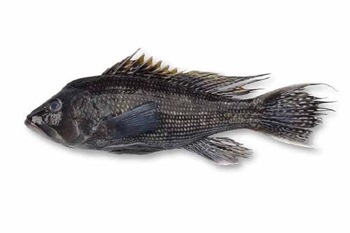 black bass image-2
