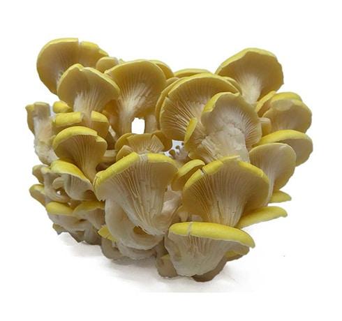 oyster mushroom-2
